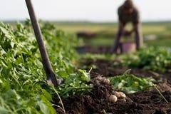 gräva potatisar Royaltyfri Foto