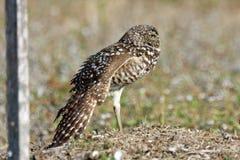 gräva uddkorallflorida owl Royaltyfri Fotografi