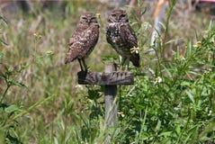 gräva uddkorallflorida owls royaltyfria bilder