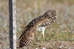 gräva uddkorallflorida owls Arkivfoto