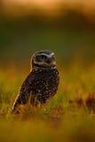 Gräva ugglan, Athenecunicularia, nattfågel med den härliga aftonsolen, djur i naturlivsmiljön, Mato Grosso, Pantanal, behå Arkivfoton