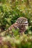 Gräva ugglan, Athenecunicularia, nattfågel med gräsnaturen Härlig fågel i naturlivsmiljön, Florida, USA Uggla som sitter n Arkivbild