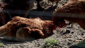 Grävde hönor och sammanträde på jordning på gårdsplan Fågellantgård Boskaplantgård arkivfilmer