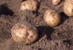 grävde nytt potatisar Arkivbilder