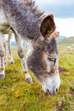 Grå åsna, stående Royaltyfria Foton