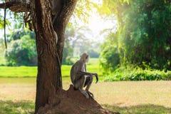 Grå apa i djungelsammanträdet under ett träd royaltyfria bilder
