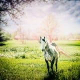 Grå arabisk häst med en framkallande svansspring på den gröna vårnaturen royaltyfri fotografi