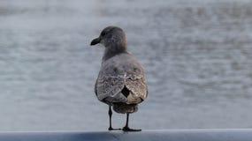 Grå bakgrund för vatten för havsfiskmås Royaltyfria Foton