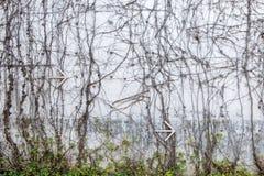 Grå betongvägg med vridna djungelvinrankor och pil för vit metall som pekar till rätten Fotografering för Bildbyråer