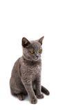 Grå brittisk katt för kort hår Fotografering för Bildbyråer