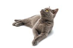 Grå brittisk katt för kort hår Royaltyfria Bilder