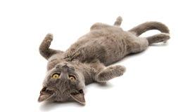 Grå brittisk katt för kort hår Royaltyfria Foton