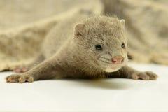 Grå djur mink Arkivfoto