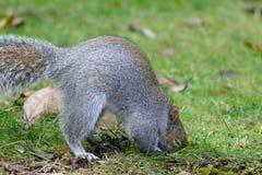 grå ekorre Royaltyfri Fotografi
