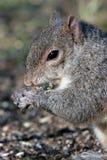 grå ekorre för closeup Fotografering för Bildbyråer