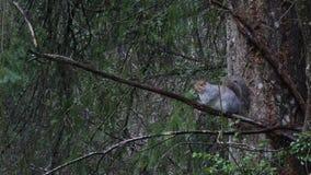 Grå ekorre i regn som spelar och äter i skog arkivfilmer