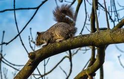 Grå ekorre på ett träd i parkera Royaltyfri Bild