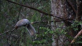 Grå ekorre som äter skället, och mossa av filialer av vinterträd arkivfilmer