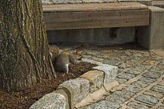 Grå ekorre under ett träd Arkivfoto