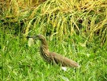 Grå färgägretthägret är härliga fåglar av Bangladesh royaltyfri bild