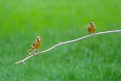 Grå färg-capped Greenfinch Arkivfoton