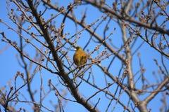 Grå färg-capped Greenfinch arkivfoto