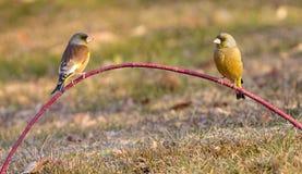 Grå färg-capped Greenfinch Fotografering för Bildbyråer
