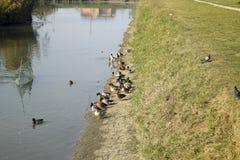 Grå färg duckar på kusten av dammet Änder med duvor Royaltyfri Fotografi