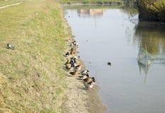 Grå färg duckar på kusten av dammet Änder med duvor Arkivfoton