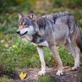 Grå färg-/Eurasianwolf royaltyfri fotografi