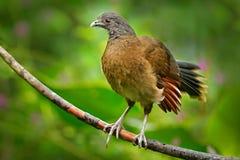 Grå färg-hövdad chachalaca, Ortaliscinereiceps, konstsikt, exotisk vändkretsfågel i skognaturlivsmiljö, rosa färger och orange bl Arkivbilder