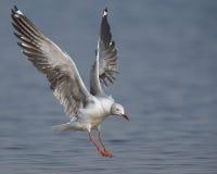 Grå färg-hövdad fiskmås som in kommer att landa Royaltyfri Foto