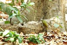 Grå färg-hövdad hackspett som söker mat i stammen av trädet Arkivfoton