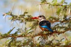 Grå färg-hövdad Kingfisher Arkivbilder