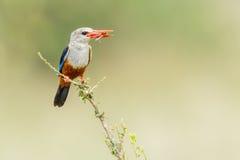 Grå färg-hövdad kungsfiskare med gräshoppan Arkivfoton