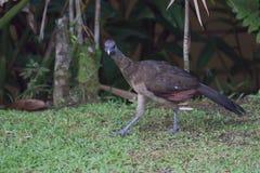 Grå färg-hövdade Chachalaca Ortaliscinereiceps Arkivfoto