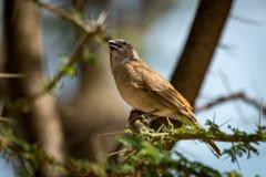 Grå färg-korkad social vävarefågel på taggig filial Royaltyfria Bilder