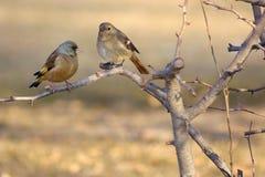 Grå färg-korkade Greenfinch och Daurian Redstart Fotografering för Bildbyråer