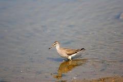 Grå färg-tailed skvallerbytta royaltyfria foton
