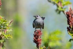 Grå färgcatbird Fotografering för Bildbyråer