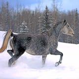 Grå färger dapple hästen som traver i snö Royaltyfria Bilder