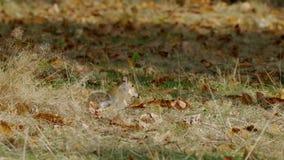 Grå färger eller Gray Squirrel (Sciuruscarolinensis) som matar på kastanjer lager videofilmer