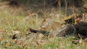 Grå färger eller Gray Squirrel (Sciuruscarolinensis) som söker efter föda för mat arkivfilmer
