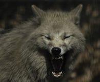 Grå färger för vargcanuslupus och vithudson fjärd royaltyfria foton