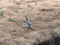 Grå färger går den bort fågeln i den Kruger nationalparken royaltyfri foto