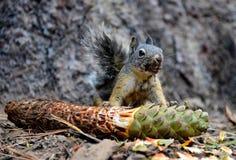 Grå färger gömma sig att äta pinecone Arkivfoto
