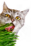 Grå färger gjorde randig katten som isolerades på vit bakgrund Royaltyfria Foton