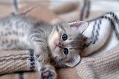 Grå färger gjorde randig kattlögner på en pläd fotografering för bildbyråer