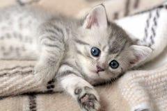 Grå färger gjorde randig kattlögner på en pläd arkivfoto