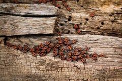 Grå färger med brunt, torra trästubbeskällrest, en armé av röda firebugs på den Royaltyfri Foto